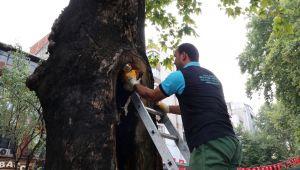 Asırlık ağaçların tedavisine devam ediliyor